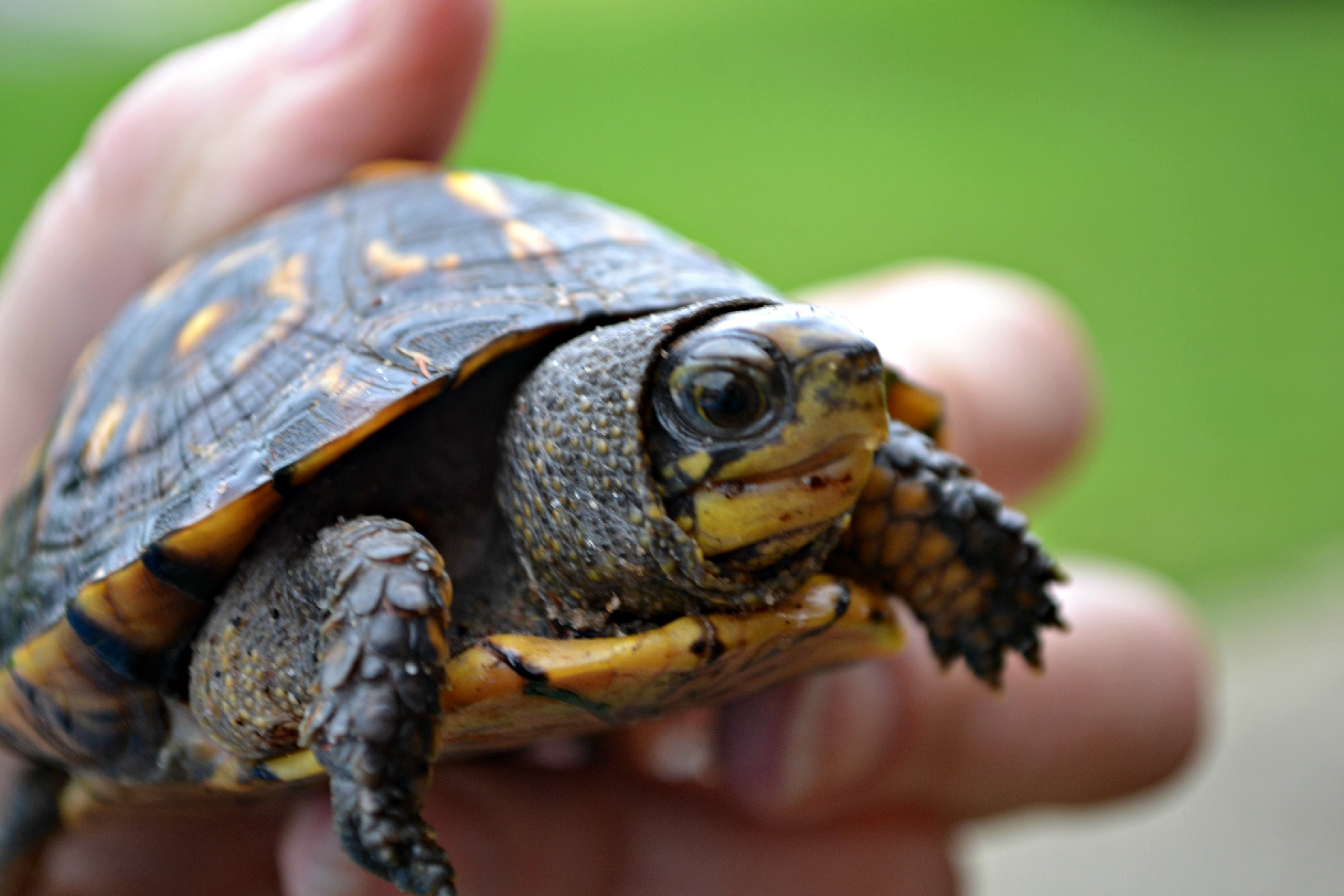 Baby box turtle whisker meadow - Cute turtle pics ...