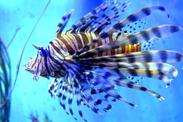 wmlionfish01