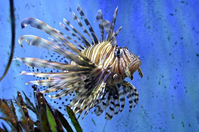 wmlionfish02